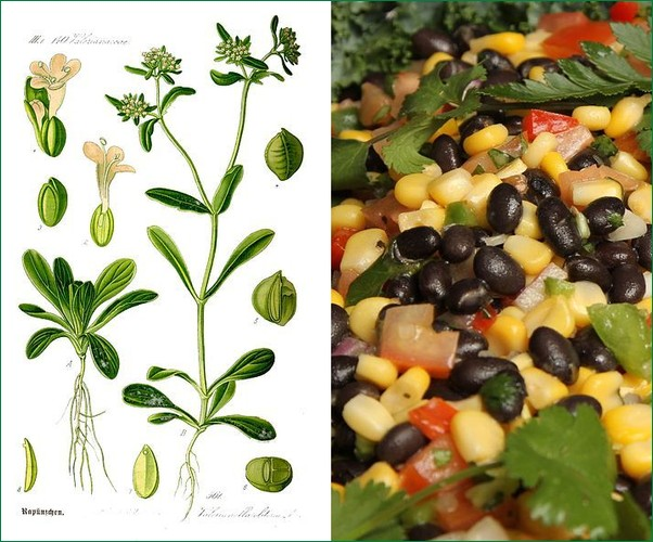 Two kinds of corn salad: Valerianella locusta and Corn with black beans (photos from Wikimedia Commons)