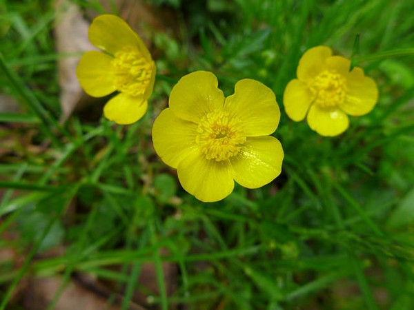 Buttercups blooming in May (photo by Kate St. John)