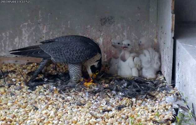 Dori feeds three chicks, 1 May 2017 (photo from the National Aviary falconcam at Gulf Tower)