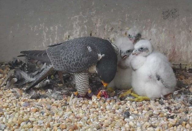 Feeding time at the Gulf Tower, 7 May 2017 (photo from the National Aviary falconcam)