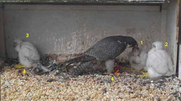 Four things to learn about peregrines, 7 May 2017 (photo from the National Aviary falconcam at Gulf Tower)