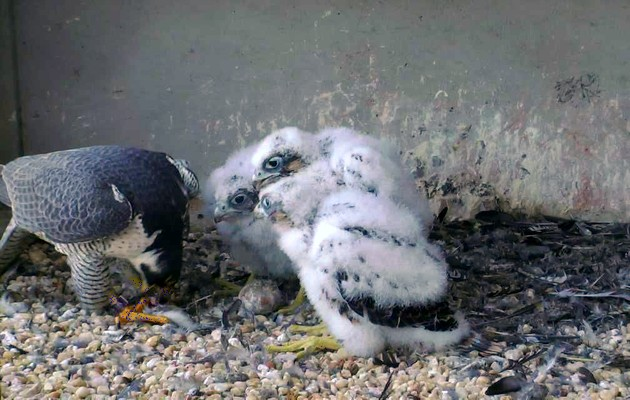 Dori feeds three peregrine chicks at the Gulf Tower, 15 May 2017 (photo from the National Aviary falconcam)