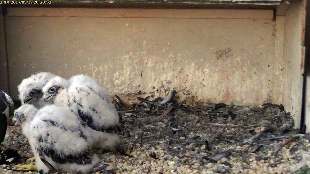 Ooops! The Gulf Tower falconcam will have to be zoomed out soon (photo from the National Aviary falconcam at Gulf Tower)
