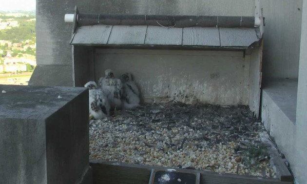 Gulf tower peregrine chicks, 16 May 2017 (photo from the National Aviary falconcam)
