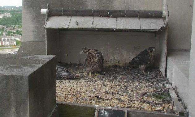 Three peregrine chicks at the Gulf Tower, 23 May 2017 (photo from the National Aviary falconcam)
