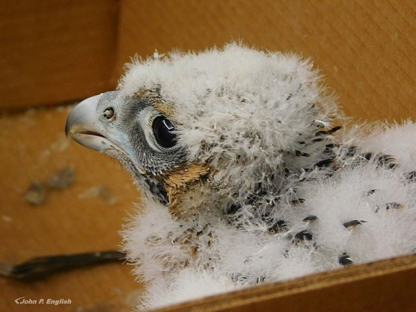 Female peregrine chick at the Gulf Tower banding, 16 May 2017 (photo by John English)