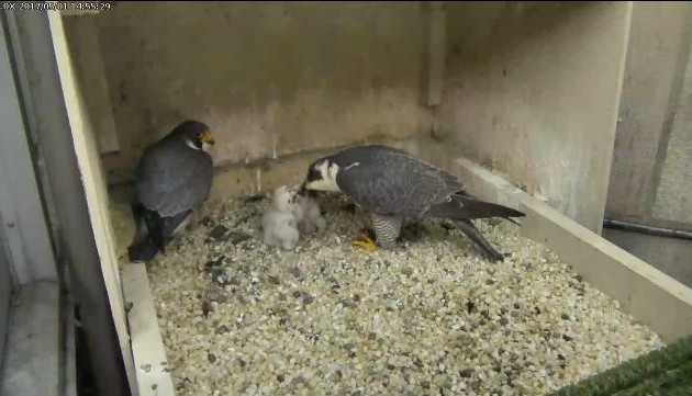 Terzo waits in the nest box while Hope feeds the chicks during the thunderstorm (photo from the National Aviary falconcam at Univ of Pittsburgh)