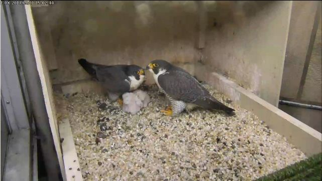 The Pitt peregrines wait out the storm, 1 May 2017 (photo from the National Aviary falconcam at Univ of Pittsburgh)