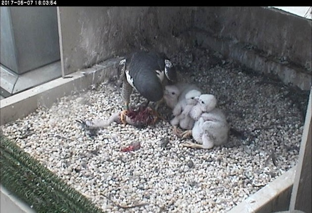 Feeding time at the Cathedral of Learning, 7 May 2017 (photo from the National Aviary snapshot camera)