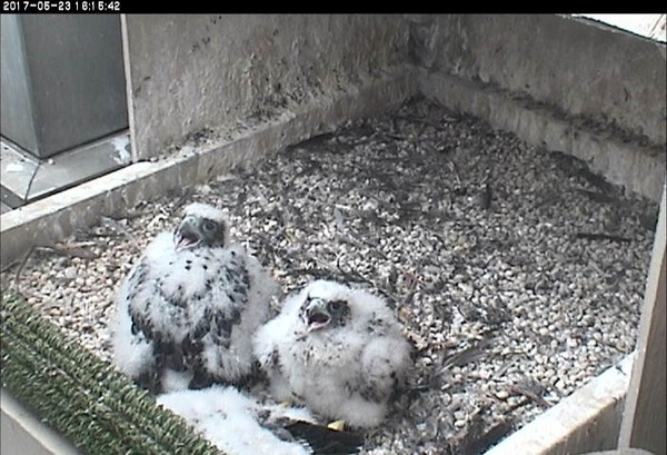 Cathedral of Learning chicks, 23 May 2017 (photo from the National Aviary falconcam at Univ of Pittsburgh)