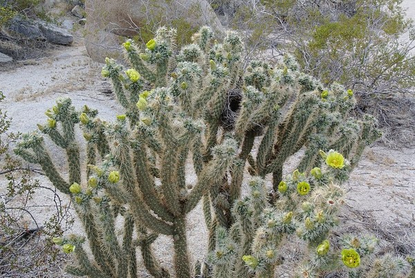 Cholla cactus with bird nest (photo from Wikimedia Commons)