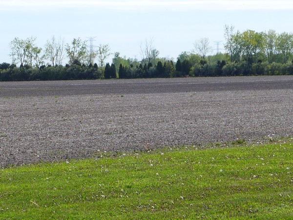 The telltale brown-green line: brown where herbicide was applied, green where not (photo by Kate St. John)