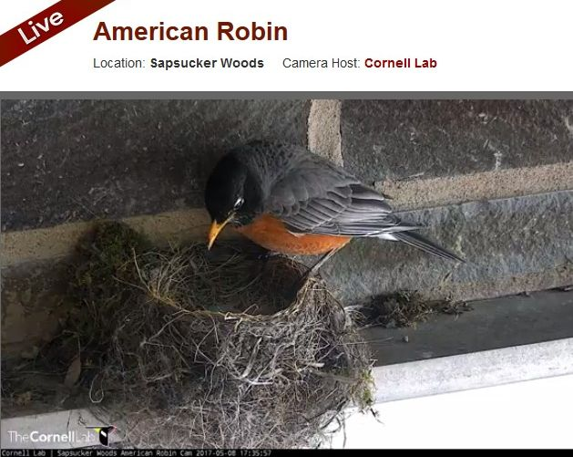 Father robin looks at his nestlings (screenshot from American Robin Nestcam at Cornell Lab). Click on the image to watch the nestcam