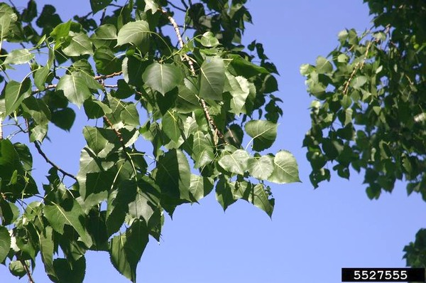 Cottonwood leaves (photo by T. Davis Sydnor, The Ohio State University, Bugwood.org)
