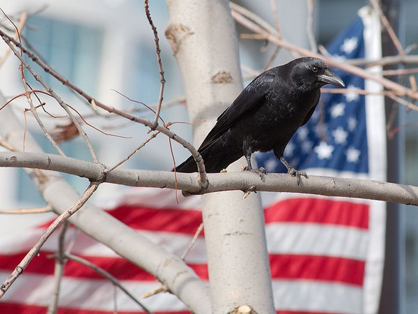 American crow in Wisconsin (photo from Wikimedia Commons)