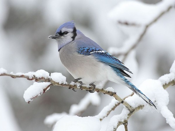 Blue jay at Algonquin Park, Canada (photo from Wikimedia Commons)