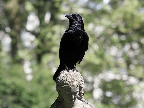 Carrion crow in London, UK (photo by http://www.sharpphotography.co.uk/ via Wikimedia Commons)