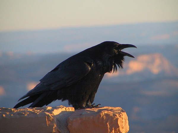 Common raven, Bryce Canyon, Utah (photo from Wikimedia Commons)