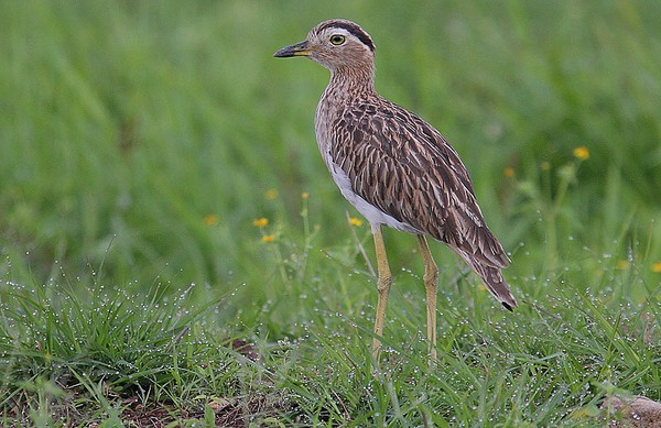 Double-striped thick-knee in Costa Rica (photo by Steve Garvie via Wikimedia Commons)