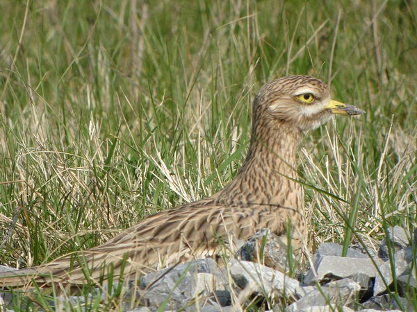 Eurasian stone curlew in France (photo by Pascal Aleixandre via Wikimedia Commons)
