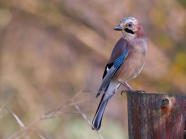 Eurasian jay (photo by Pierre Dalous via Wikimedia Commons)
