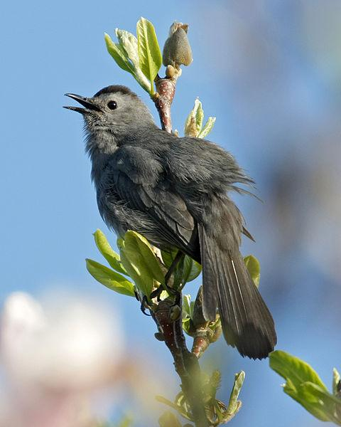 Gray catbird singing in Madison, Wisconsin (photo from Wikimedia Commons)