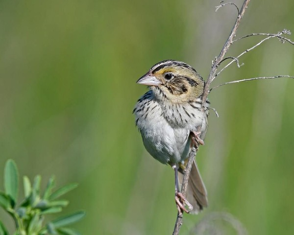 Henslow's sparrow, June 2017 (photo by Anthony Bruno)