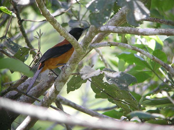 Hooded pitohui (photo from Wikimedia Commons)