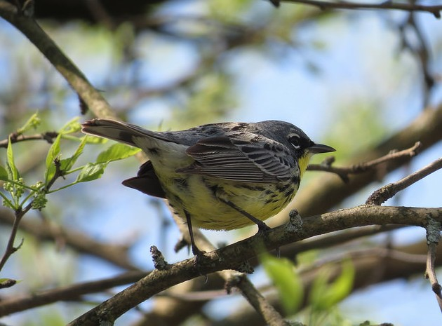 Kirtland's warbler, Montgomery County, Ohio, 6 May 2016 (photo by Brian Wulker), Creative Commons license on Flickr)