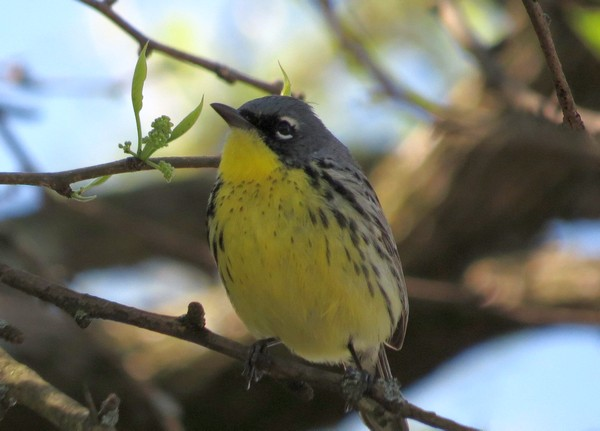 Kirtland's warbler (photo by Brian Wulker via Flickr, Creative Commons license)