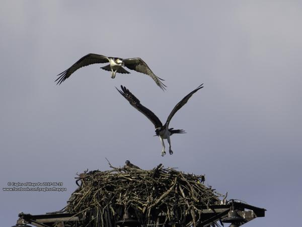 Ospreys at their nest near Duquesne (photo by Dana Nesiti)