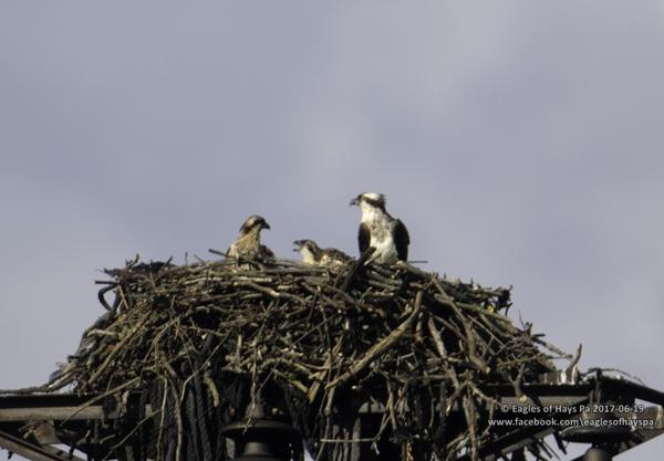 Osprey nest with two young near Duquesne (photo by Dana Nesiti)