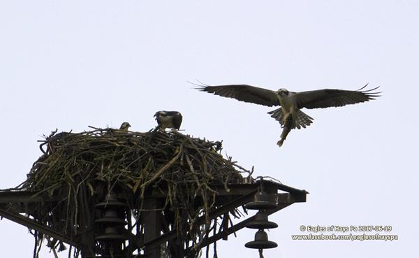 Incoming! An adult osprey brings fish to the nest near Duquesne, 19 June 2017 (photo by Dana Nesiti)
