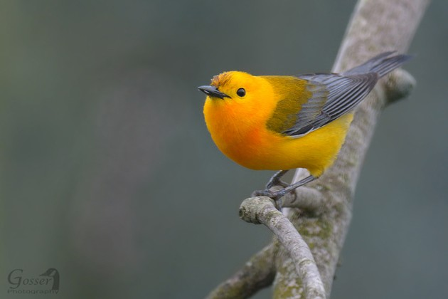 Prothonotary warbler, western pennsylvania, Spring 2017 (photo by Steve Gosser)