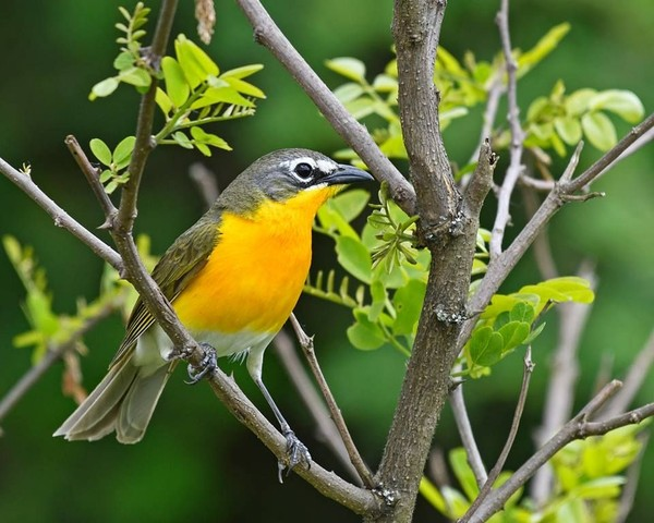 Yellow-breasted chat, June 2017 (photo by Anthony Bruno)