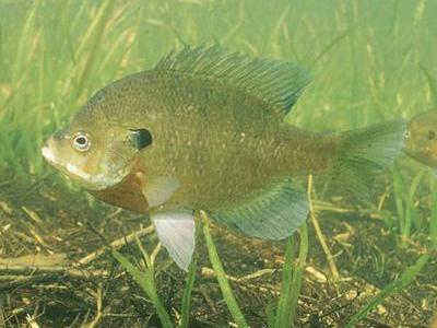 Bluegill (photo from Wikimedia Commons)