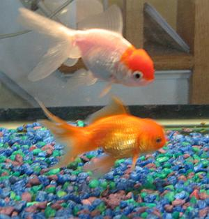 Goldfish (photo from Wikimedia Commons)