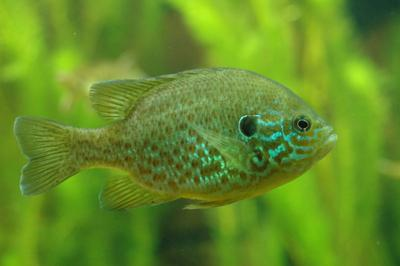 Pumpkinseed fish (photo from Wikimedia Commons)