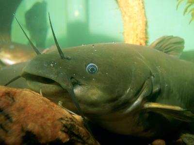 Yellow bullhead catfish (photo from Wikimedia Commons)