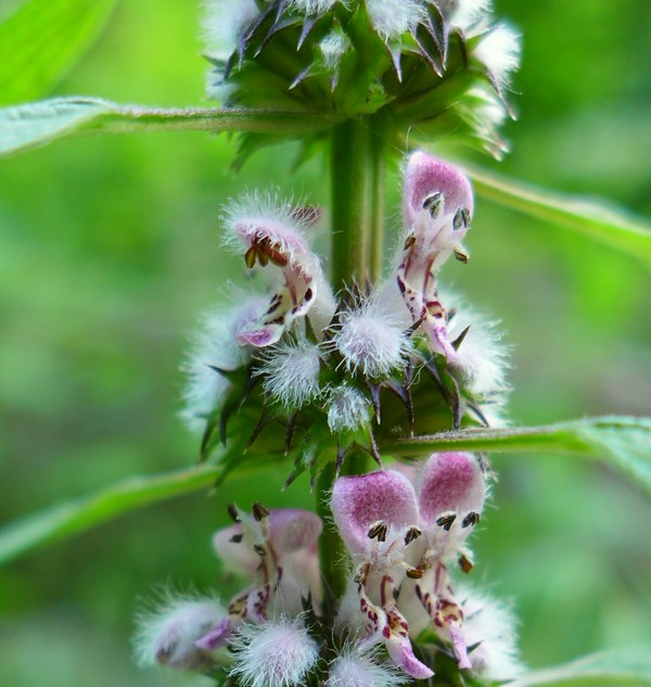 Motherwort blooming in Schenley Park, 30 May 2017 (photo by Kate St. John)