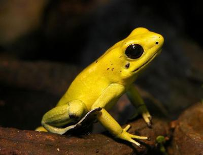 Golden poison frog, Colombia (photo from Wikimdeia Commons)