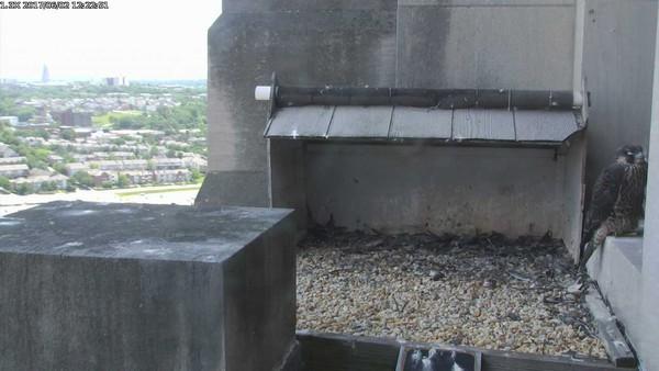 Juvenile peregrine rests near the nest, 12:22pm, 2 June 2017 (photo from the National Aviary falconcam at Gulf Tower)