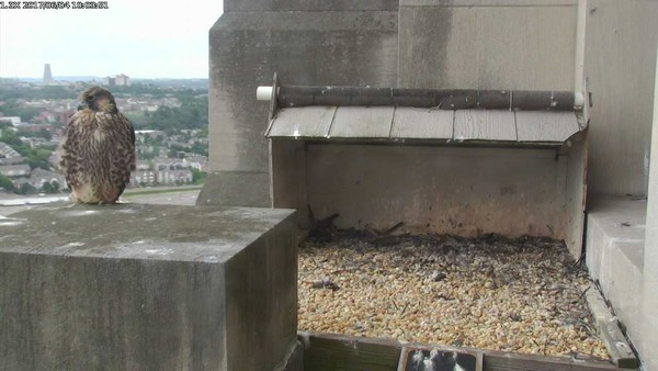 Juvenile peregrine at the Gulf Tower, 4 June 2017 (photo from the National Aviary falconcam at Gulf Tower)