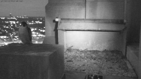 Louie before dawn at the Gulf Tower nest (photo from the National Aviary falconcam)