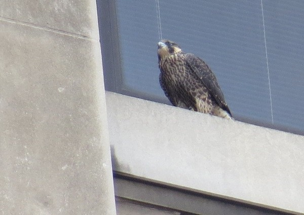Peregrine fledgling on the 19th floor windowsill at Gulf Tower,5 Jun 2017 (photo by Lori Maggio)