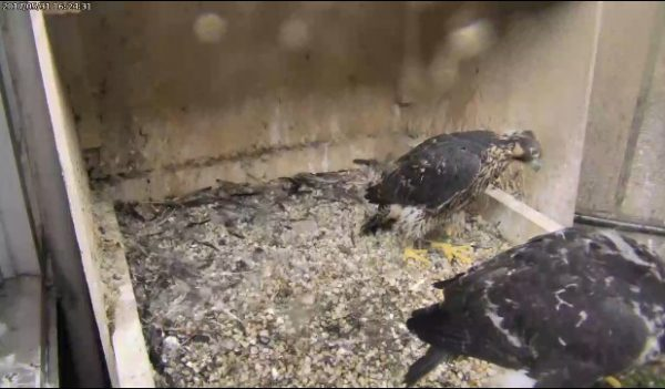A Pitt peregrine chick looks at a sibling in the gully, 31 May 2017 (photo from the National Aviary falconcam at Univ of Pittsburgh)