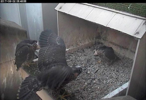 One chick flaps while the other two look upside down (photo from the National Aviary falconcam at Univ of Pittsburgh)