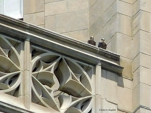 Two of three young peregrines on the nest rail at Pitt, 2 June 2017 (photo by John English)