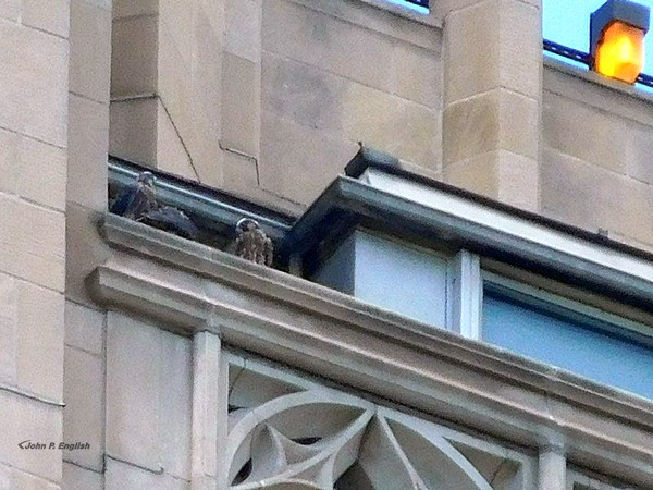 All three juvenile peregrines on the nest rail at the Cathedral of Learning, 2 June 2017 (photo by John English)