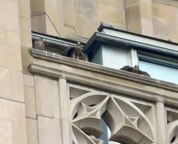 Three juvenile peregrines in the nest rail at the Cathedral of Learning (photo by John English)